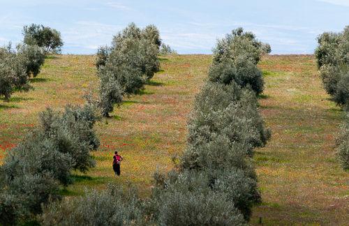 Olive fields near Granada.
