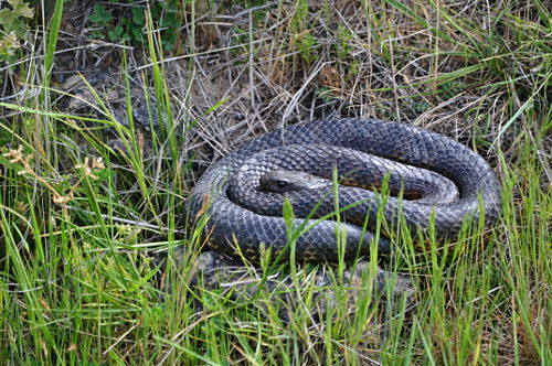 A curled-up tiger snake. You can see the yellow banding on its bottom side that lends the species its name.