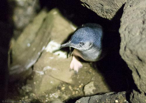 A penguin at St. Kilda beach.