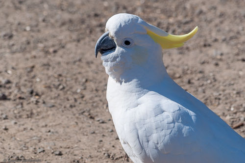A sulphur-crested cockatoo sits on the ground.