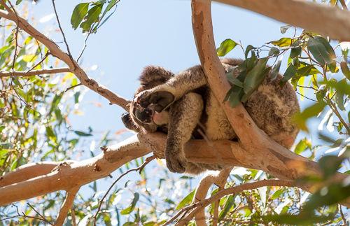 A koala sleeping in a tree.