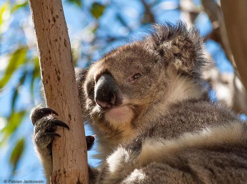 The face of a koala.