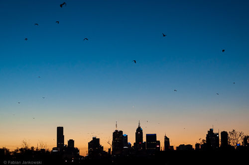 Bats flying in front of the skyline of Melbourne, Australia.