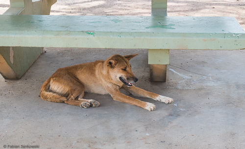A dingo resting below a bench in the Northern Territory.