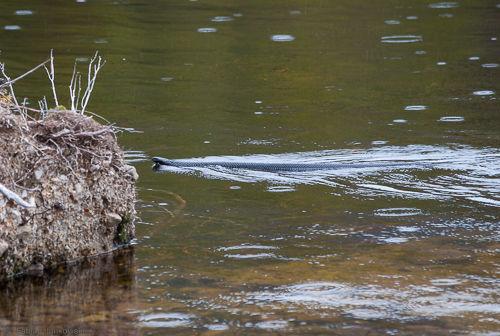 A tiger snake swims in a lake in Tasmania.
