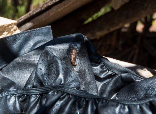 A leech found inside a gaiter in Tasmania.