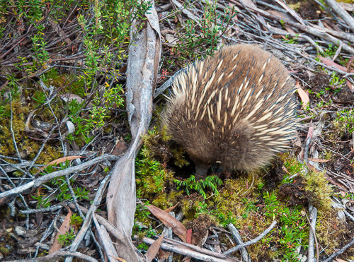 An echidna searches for food.