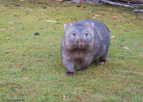 A curious wombat looks at us.
