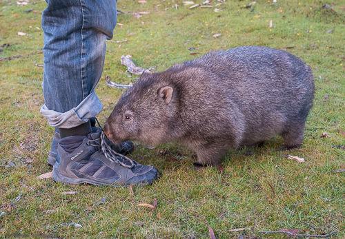 A wombat sniffs Pascal's shoes.