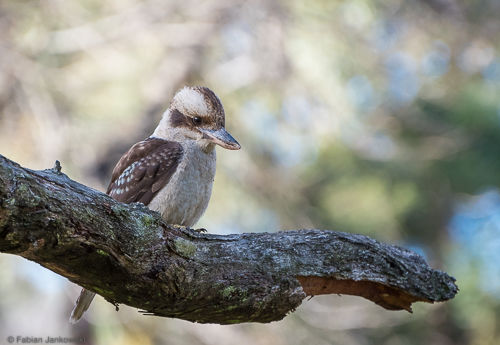 A Kookaburra sitting on a tree branch.