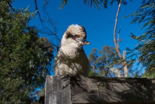 A close-up view of a Kookaburra.