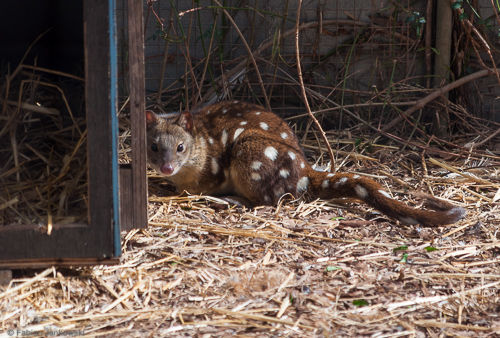 A spotted quoll in a sanctuary.