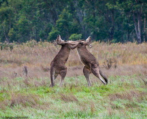 Two kangaroos fighting.
