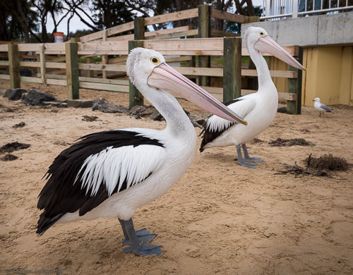 A group of pretty large pelicans was fed on the beach.