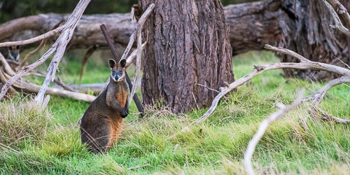 A swamp wallaby sitting in the grass.