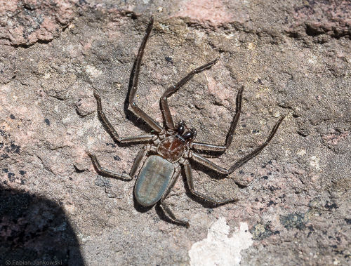A huntsman spider sitting on a rock.