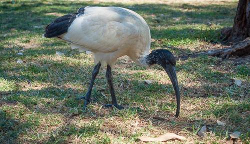 An Australian white ibis seen in Sydney in a park near the city centre.