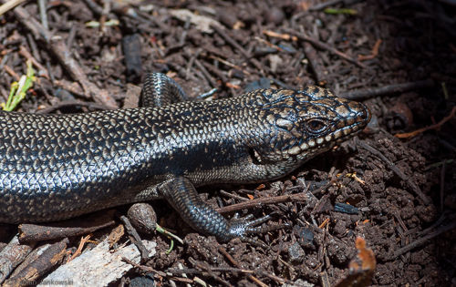 A skink sitting on the ground. These small lizards are numerous throughout Victoria and Tasmania and can be found in most national or state parks.